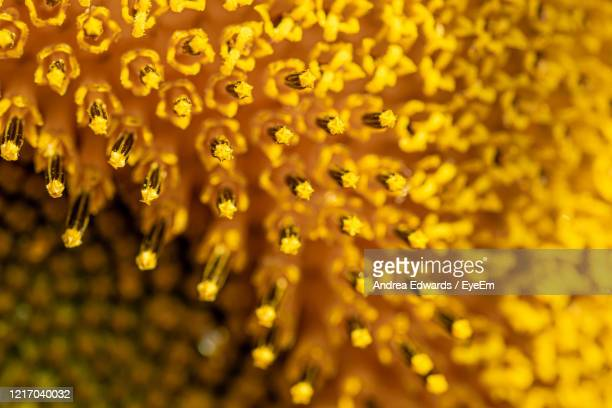 close up of centre of a sunflower - blossom stock pictures, royalty-free photos & images