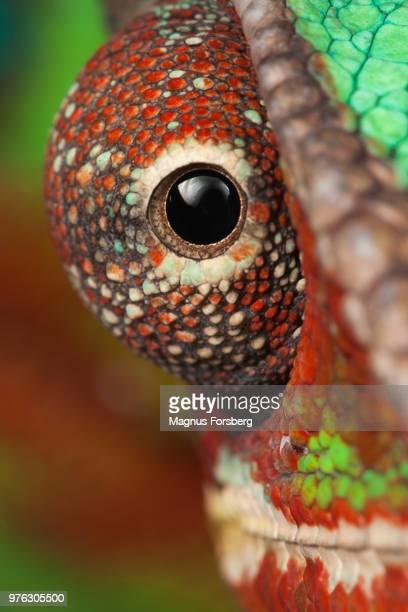 close up of chameleons eye - camaleón fotografías e imágenes de stock
