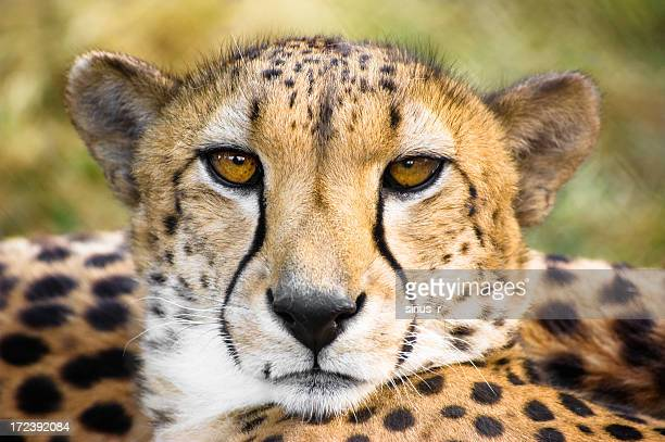 close up of cheetah - cheetah stock pictures, royalty-free photos & images