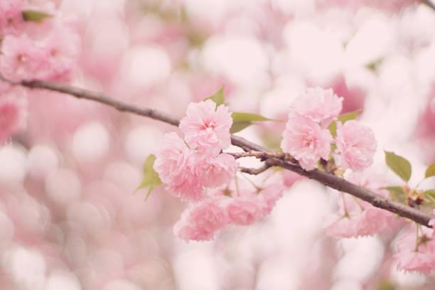 Close up of cherry blossom, Kowloon, Hong Kong