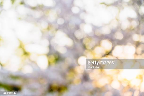 close up of cherry blossoms at sunset - muted backgrounds stock pictures, royalty-free photos & images