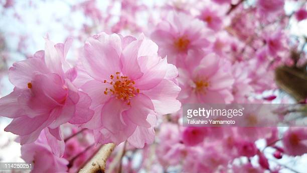 close up of cherry blossoms - suginami stock photos and pictures