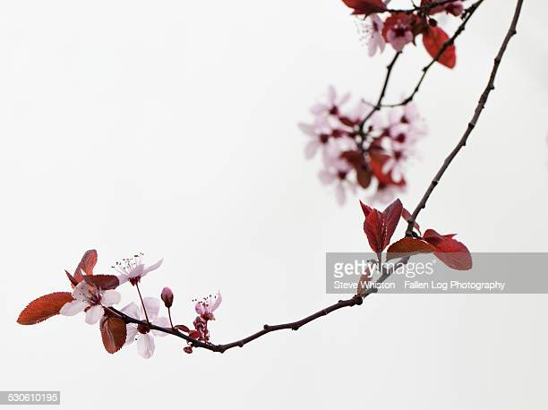 Close up of Cherry Tree Blooming