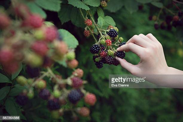 close up of child picking blackberries - blackberry fruit stock pictures, royalty-free photos & images