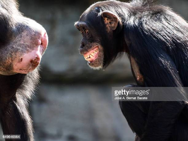 Close up of Chimpanzee (Pan troglodytes),  on a log with open mouth and screaming, looking at a female in season of matching