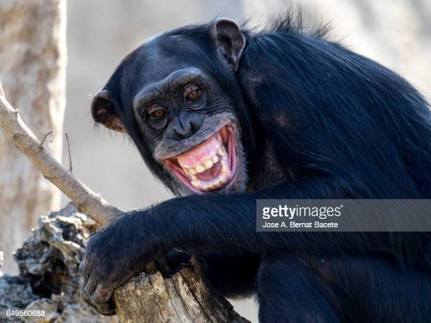 close up of chimpanzee (pan troglodytes),  on a log with open mouth and screaming - maltrato animal fotografías e imágenes de stock