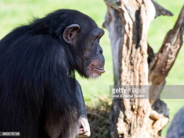 Close up of Chimpanzee (Pan troglodytes), on a tree.