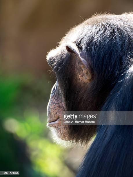 close up of chimpanzee (pan troglodytes) - chimpanzee teeth stock pictures, royalty-free photos & images