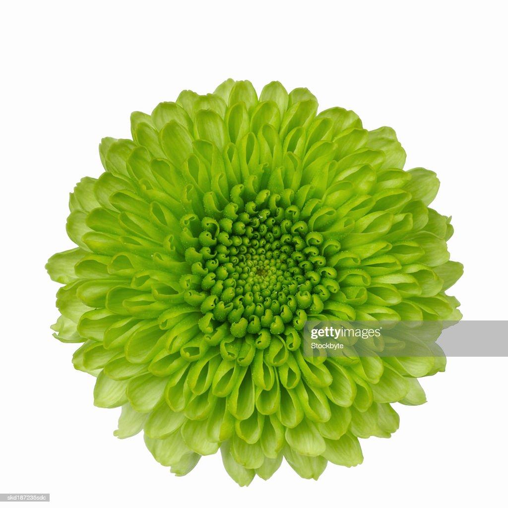 Close up of chrysanthemum : Stock Photo