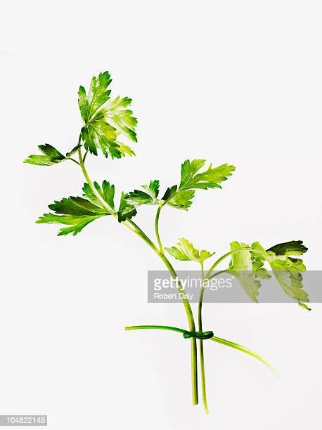 コリアンダーの葉のクローズアップ