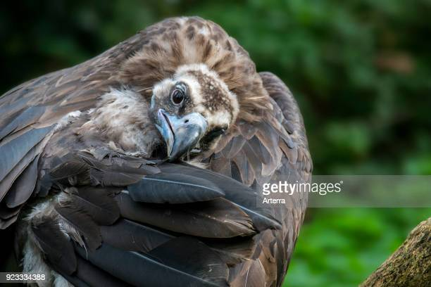 Close up of cinereous vulture monk vulture Eurasian black vulture preening wing feathers