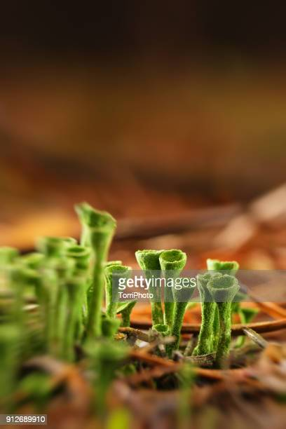 Close up of Cladonia (cup lichen) in pine needles