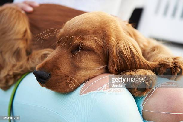 close up of cocker spaniel puppy sleeping after walk - cocker spaniel stock photos and pictures