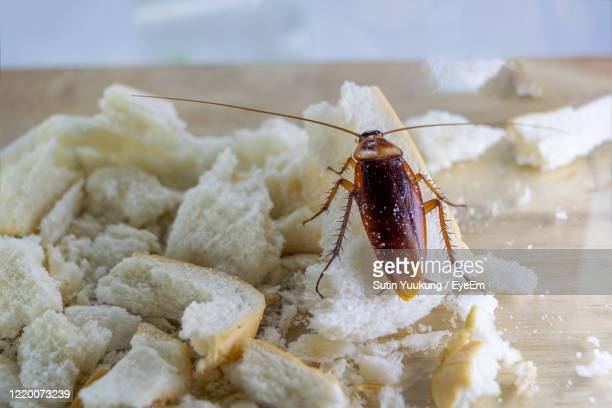 close up of cockroach on a slice of bread. - cockroach stock pictures, royalty-free photos & images