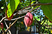 agriculture bean beauty botanical cacao chocolate