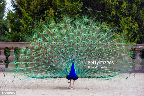 close up of colorful peacock with his feathers fanned out - peacock stock pictures, royalty-free photos & images