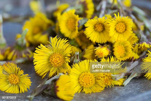 close up of coltsfoot (tussilago farfara) stems and flowers. used in herbal medicine and food - coltsfoot stock photos and pictures