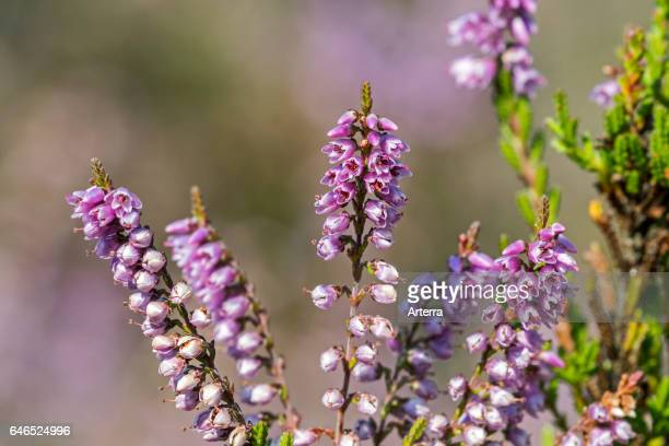 Close up of common heather / Scotch heather / ling flowering in heathland in summer.