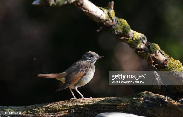 close up of common nightingale (luscinia megarhynchos) - nightingale bird stock pictures, royalty-free photos & images