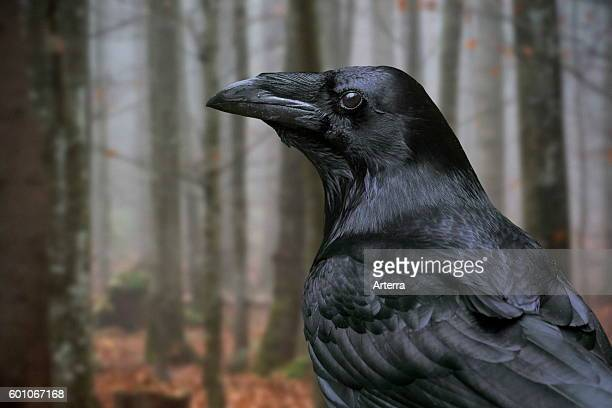 Close up of common raven / northern raven in autumn forest