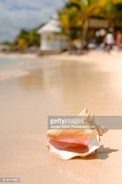 close up of conch shell on tropical beach - conch shell stock pictures, royalty-free photos & images