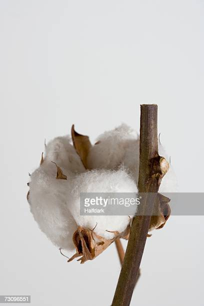 Close up of cotton boll plant