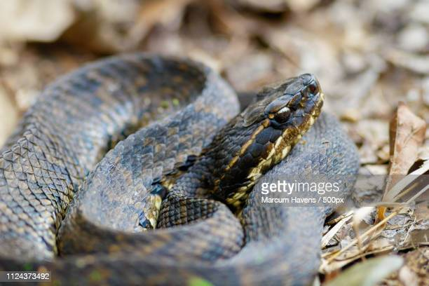 close up of cottonmouth (agkistrodon piscivorus) - cottonmouth snake stock pictures, royalty-free photos & images