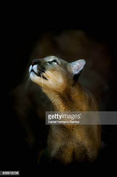 close up of cougar headshot face to face looking up with black background. puma concolor - puma stock photos and pictures