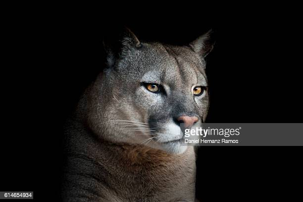 close up of cougar headshot face to face with black background. puma concolor - puma stock photos and pictures