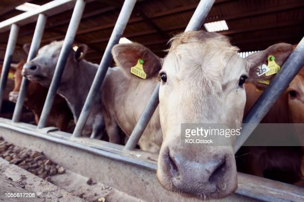 close up of cow looking into camera - boston lincolnshire - fotografias e filmes do acervo