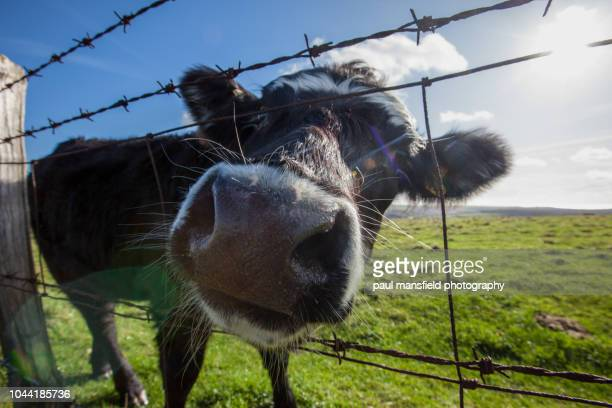 Close up of cow peering through fence