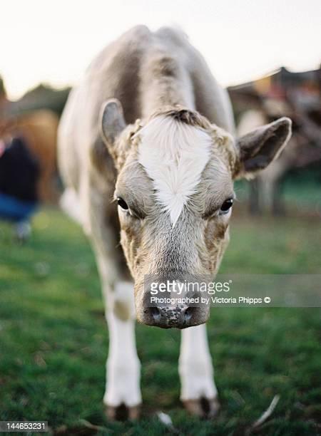 close up of cow - 休耕田 ストックフォトと画像