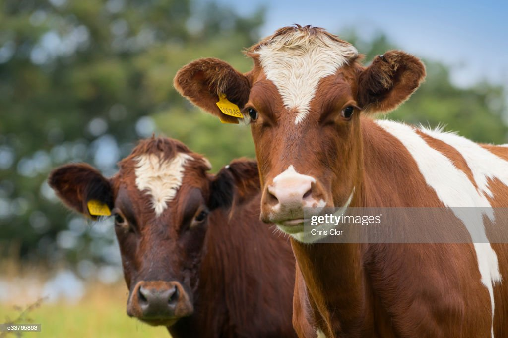 Close up of cows in field : Foto stock