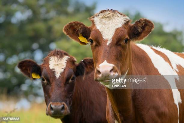 Close up of cows in field
