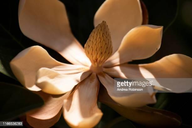 close up of creamy light brown magnolia grandiflora flower - magnolio fotografías e imágenes de stock