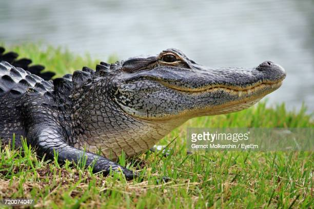Close Up Of Crocodile