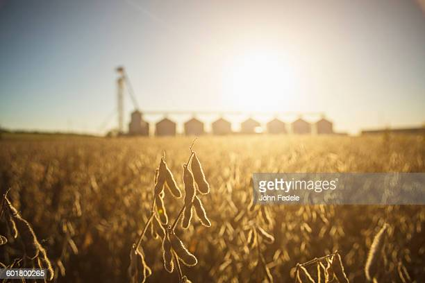 close up of crops growing in farm field - soybean stock pictures, royalty-free photos & images