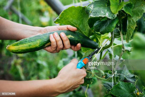 close up of cucumber being harvested - harvesting stock pictures, royalty-free photos & images