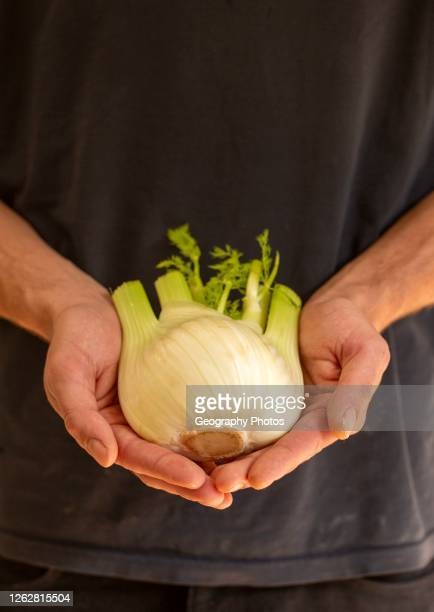 Close up of cupped person's hands holding fennel plant bulb.