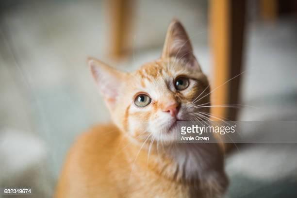 close up of cute kitty - gatto soriano foto e immagini stock