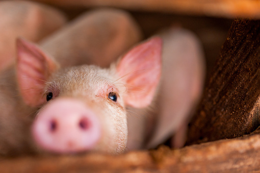 close up of cute pink pig in wooden farm with black eyes looking in camera 1034365474