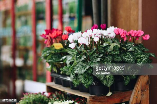 Close up of cyclamen pots for sale