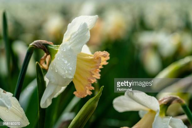 Close up of daffodils during the early hours of the day