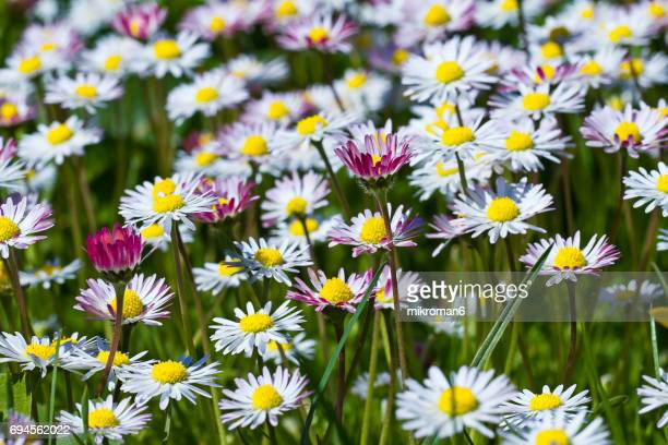 close up of daisies in meadow - daisy stock photos and pictures