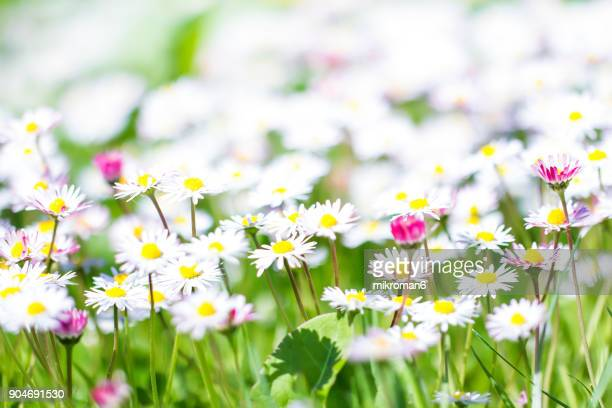 Close up of daisies in Tipperary meadow on sunny summer day, Ireland.
