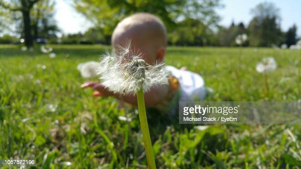 Close Up Of Dandelion Against Baby Girl Crawling On Grassy Field At Park