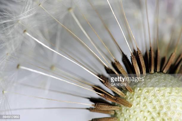 Nahaufnahme einer Löwenzahn Samen kopf