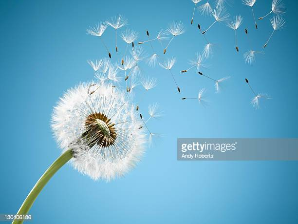 close up of dandelion spores blowing away - soplar fotografías e imágenes de stock