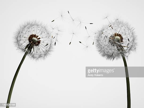 close up of dandelion spores blowing away - two objects stock photos and pictures