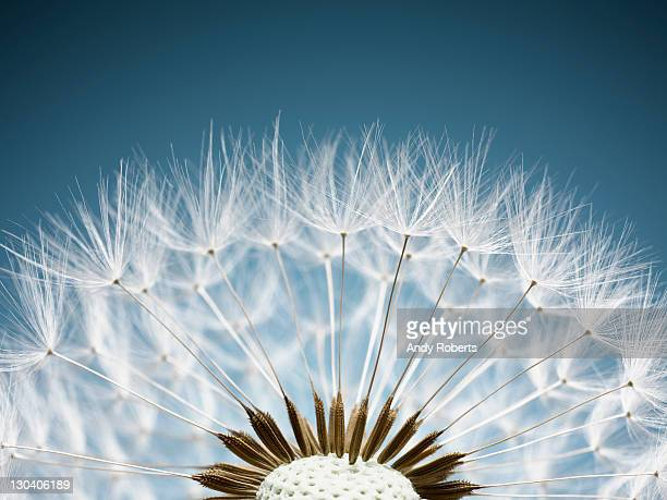 close up of dandelion spores - chance stock pictures, royalty-free photos & images